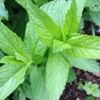 Dealing with the June Drop - How to Make Mint Sauce