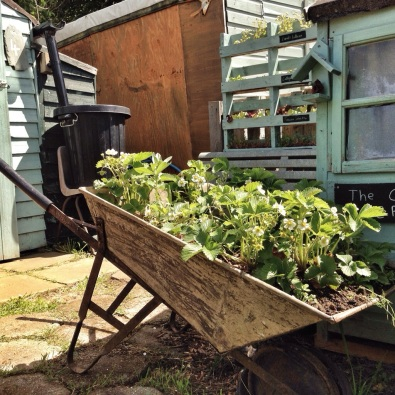 wheelbarrow strawberry planter