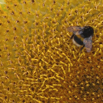 sunflower and bee