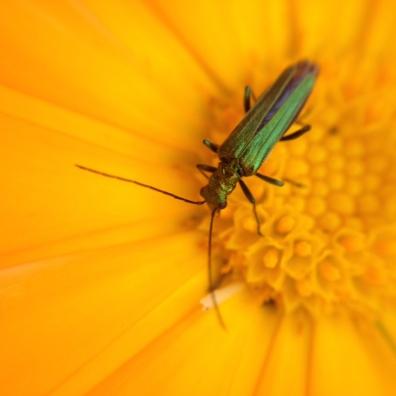 marigold bug