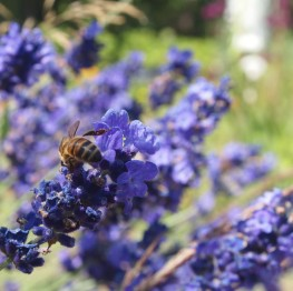 lavendar and bee