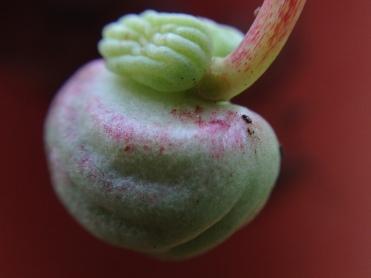 nasturcium seed