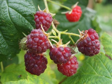 october raspberries