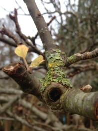 lichen apple tree